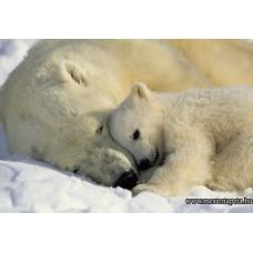 Jegesmedvék poszter 1-605 ingyenes szállítással