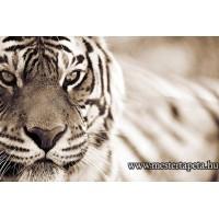 XXL Tigris poszter 470316