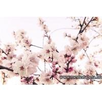 XXL Cseresznyevirág poszter 470327