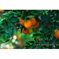XXL Narancsfa poszter 470362